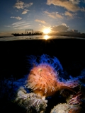 Hairy Frogfish at Sunrise by Enrico Somogyi ()